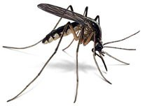 El buey y el mosquito